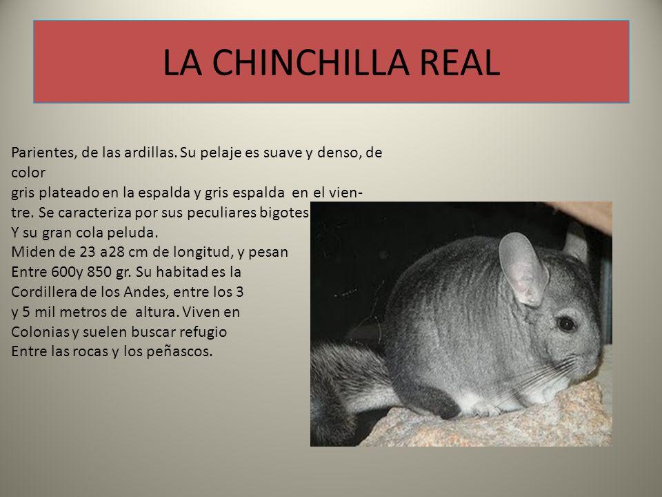 LA CHINCHILLA REAL Parientes, de las ardillas. Su pelaje es suave y denso, de color. gris plateado en la espalda y gris espalda en el vien-