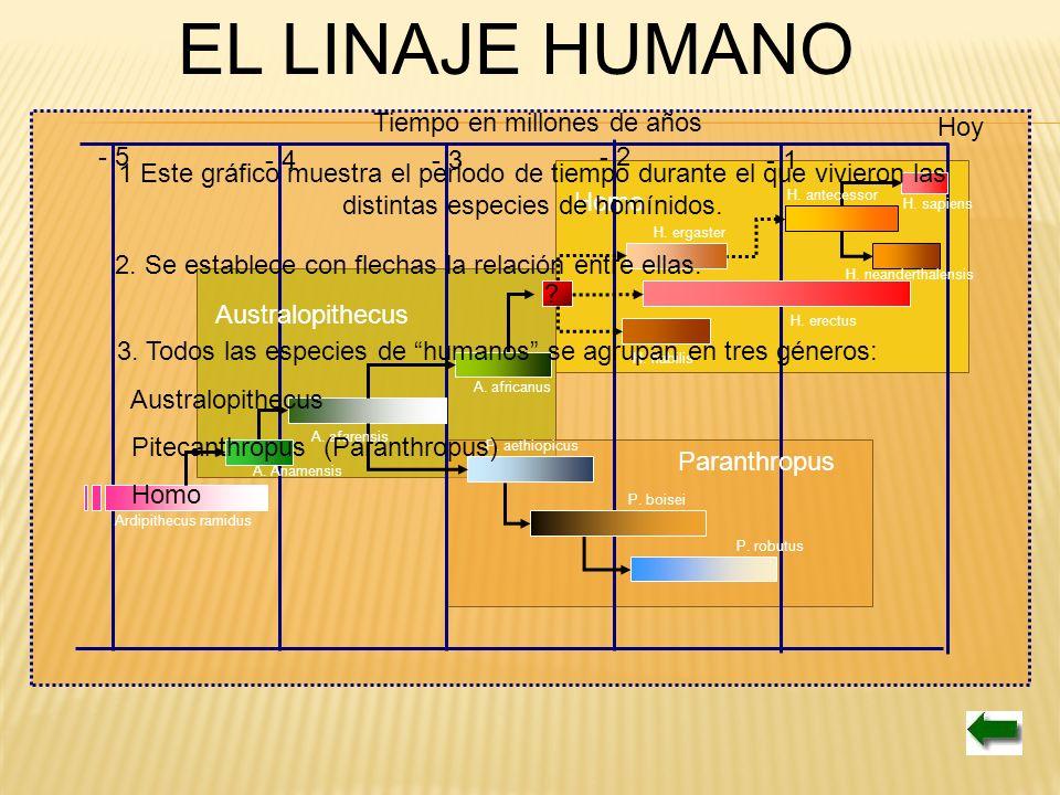 EL LINAJE HUMANO Tiempo en millones de años Hoy - 5 - 4 - 3 - 2 - 1