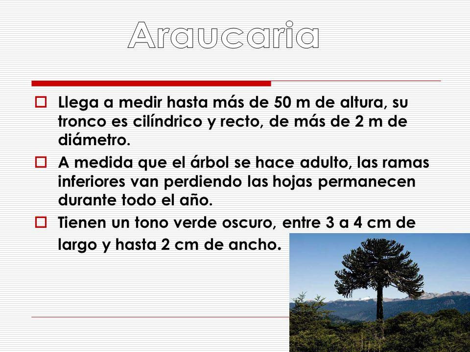 Araucaria Llega a medir hasta más de 50 m de altura, su tronco es cilíndrico y recto, de más de 2 m de diámetro.