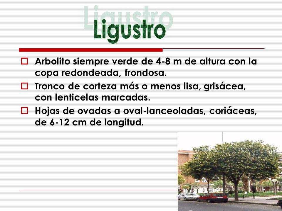 Ligustro Arbolito siempre verde de 4-8 m de altura con la copa redondeada, frondosa.