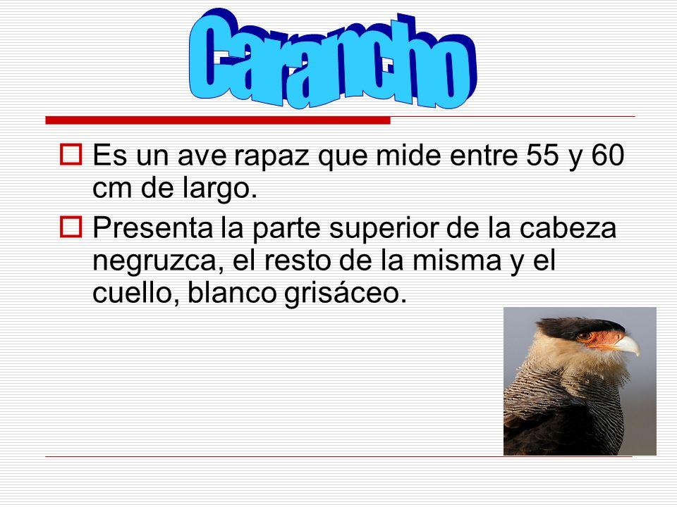 Carancho Es un ave rapaz que mide entre 55 y 60 cm de largo.