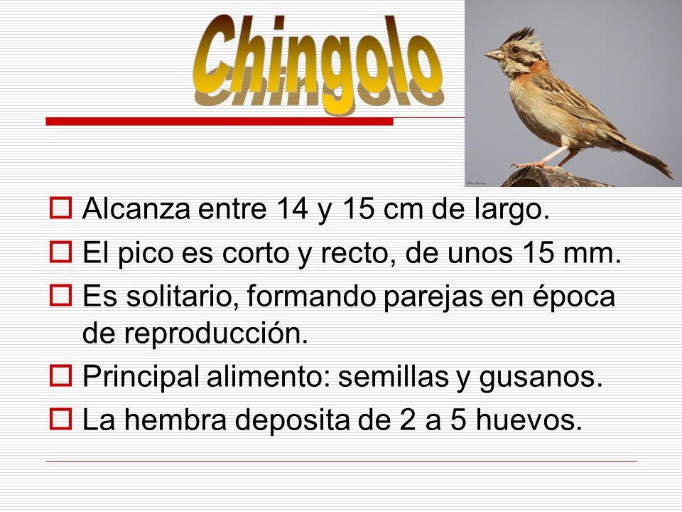 Chingolo Alcanza entre 14 y 15 cm de largo.