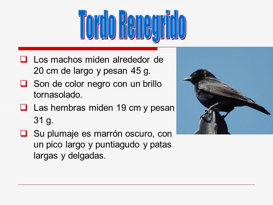 Tordo Renegrido Los machos miden alrededor de 20 cm de largo y pesan 45 g. Son de color negro con un brillo tornasolado.