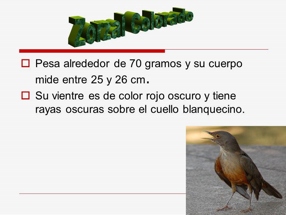 Zorzal Colorado Pesa alrededor de 70 gramos y su cuerpo mide entre 25 y 26 cm.