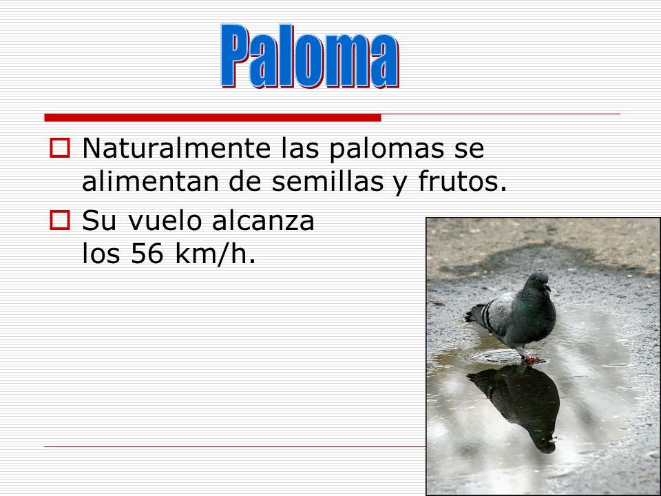 Paloma Naturalmente las palomas se alimentan de semillas y frutos.