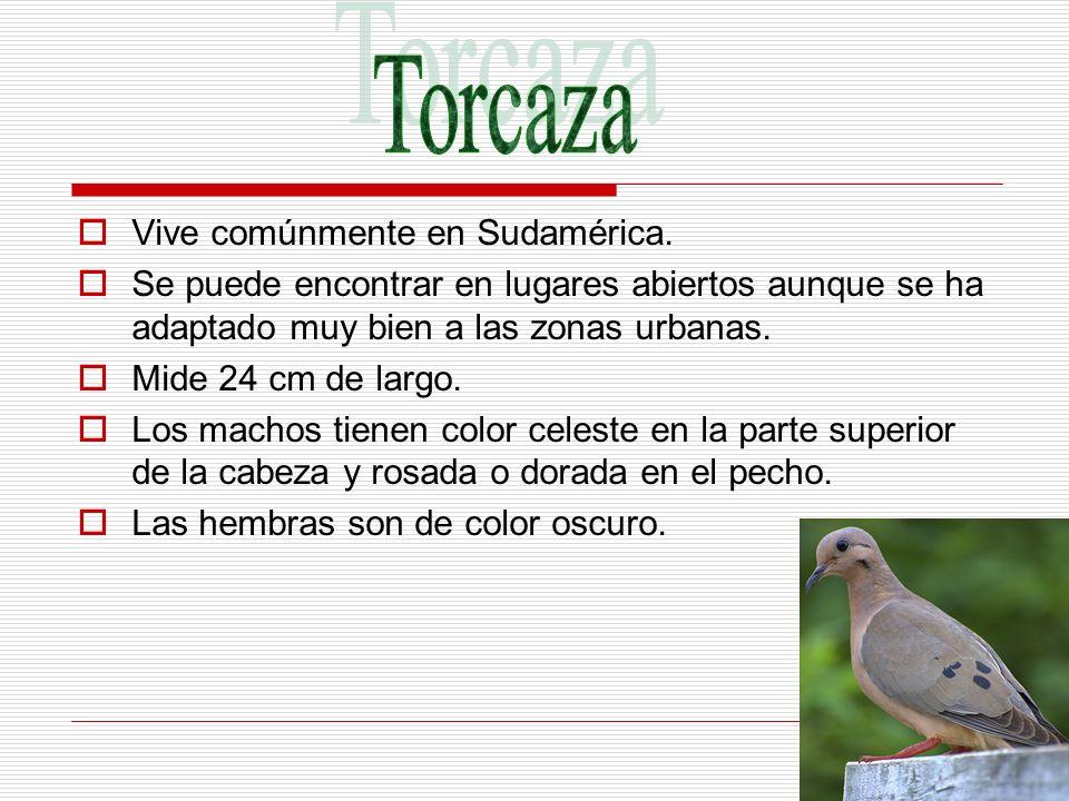 Torcaza Vive comúnmente en Sudamérica.