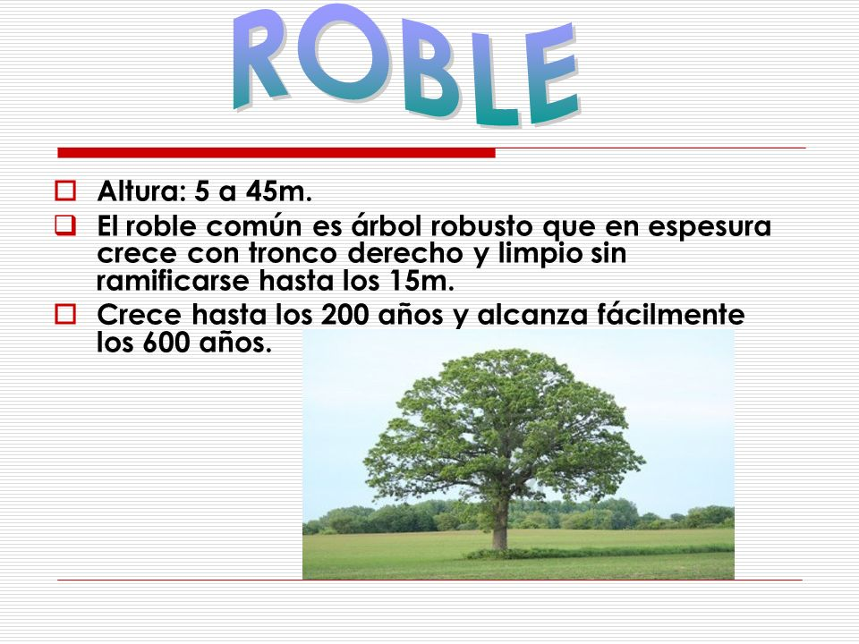 ROBLE Altura: 5 a 45m. El roble común es árbol robusto que en espesura crece con tronco derecho y limpio sin ramificarse hasta los 15m.