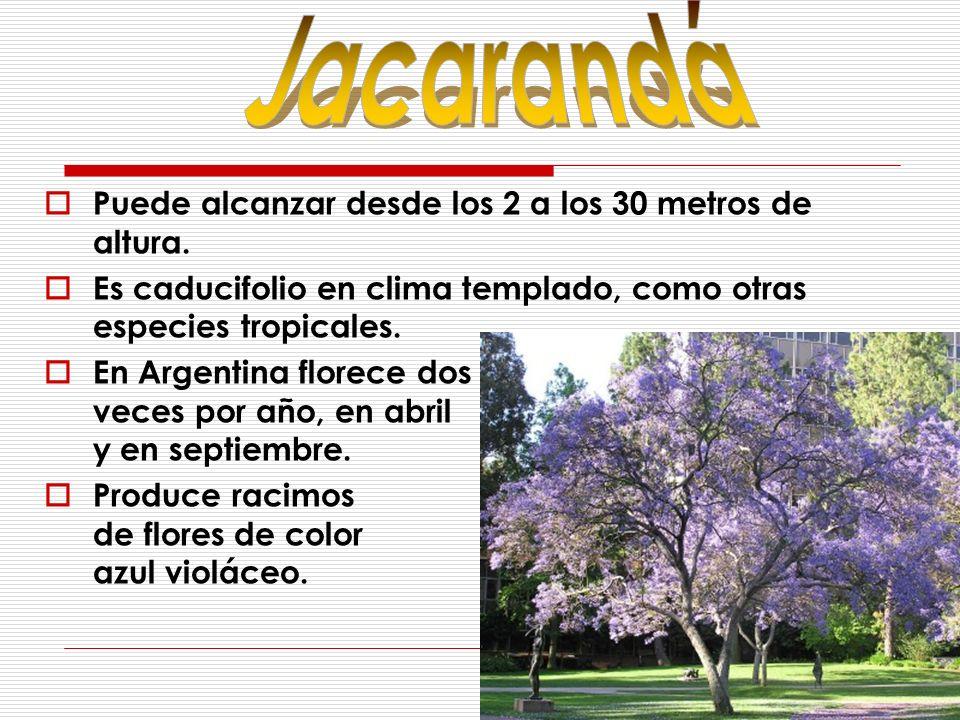 Jacarandá Puede alcanzar desde los 2 a los 30 metros de altura.