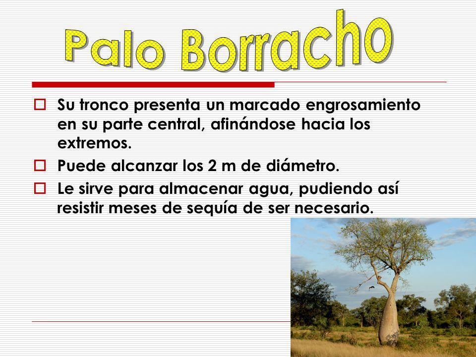 Palo Borracho Su tronco presenta un marcado engrosamiento en su parte central, afinándose hacia los extremos.
