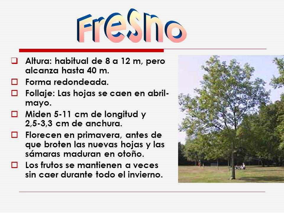 Fresno Altura: habitual de 8 a 12 m, pero alcanza hasta 40 m.