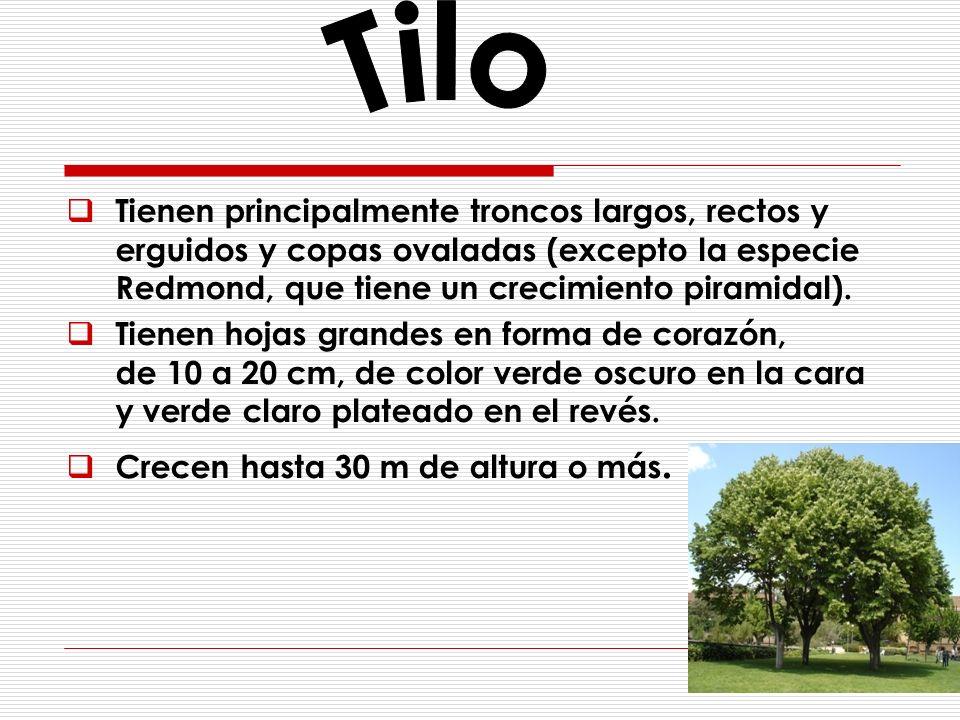 Tilo Tienen principalmente troncos largos, rectos y erguidos y copas ovaladas (excepto la especie Redmond, que tiene un crecimiento piramidal).