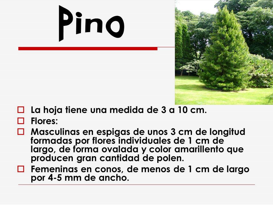 Pino La hoja tiene una medida de 3 a 10 cm. Flores: