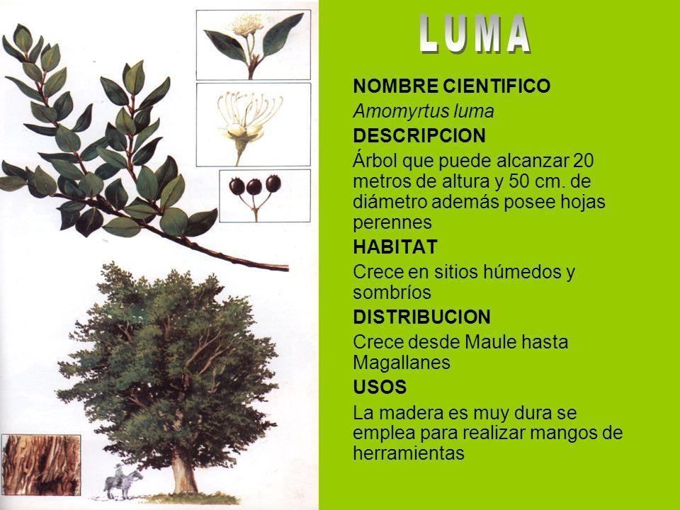 LUMA NOMBRE CIENTIFICO Amomyrtus luma DESCRIPCION