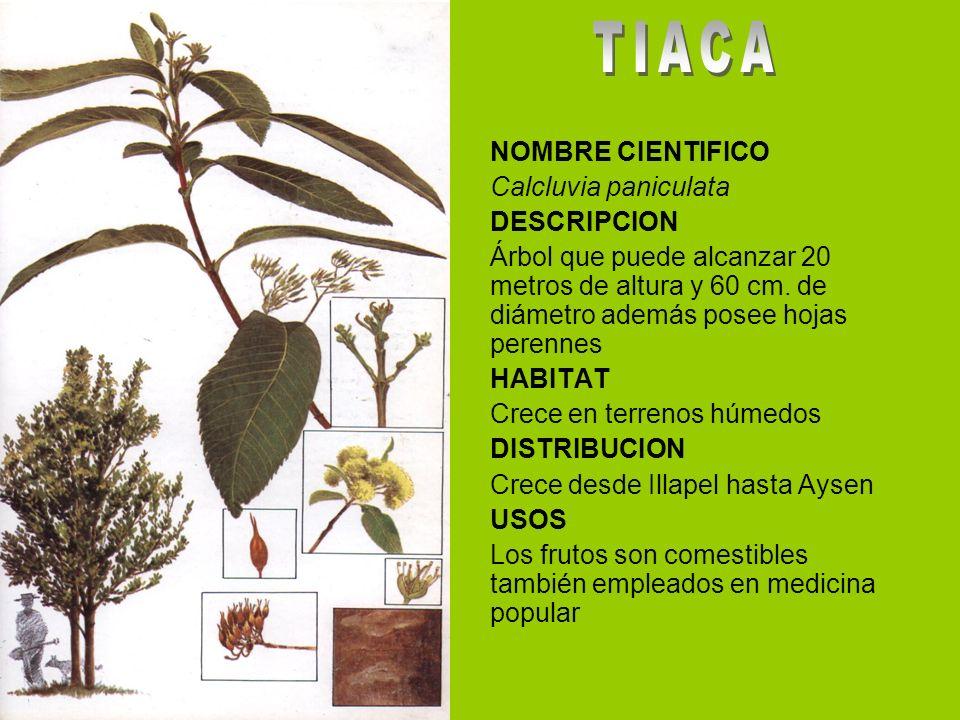 TIACA NOMBRE CIENTIFICO Calcluvia paniculata DESCRIPCION