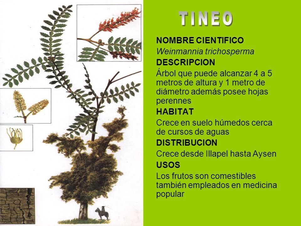 TINEO NOMBRE CIENTIFICO Weinmannia trichosperma DESCRIPCION