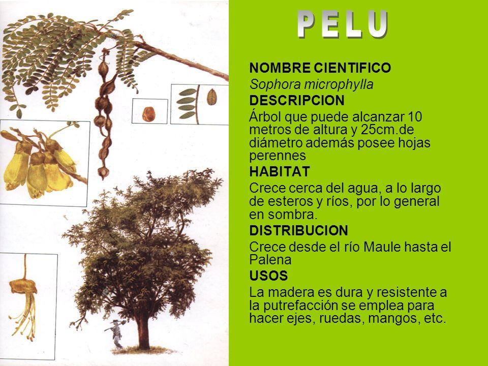 PELU NOMBRE CIENTIFICO Sophora microphylla DESCRIPCION