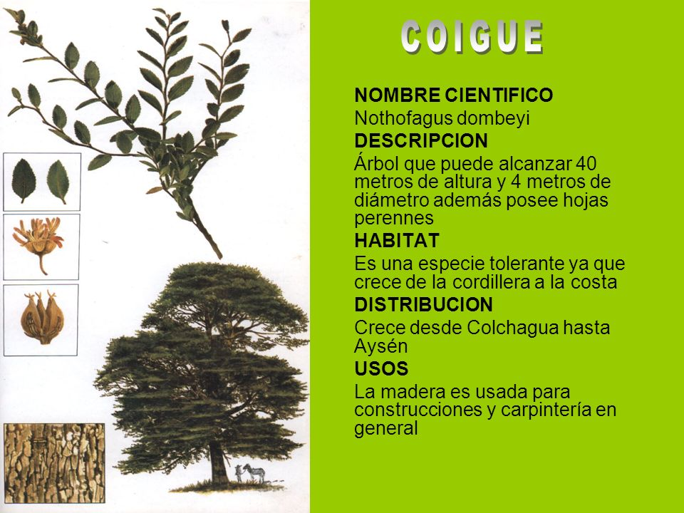 COIGUE NOMBRE CIENTIFICO Nothofagus dombeyi DESCRIPCION