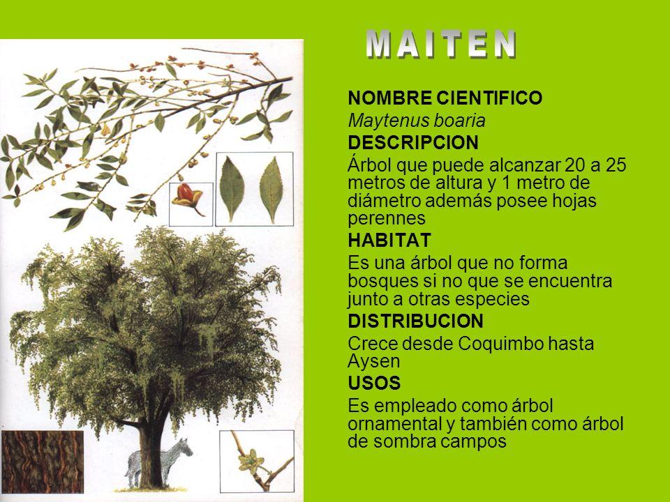 Arboles y arbustos de aysen ppt video online descargar for Tipos de arboles y sus caracteristicas