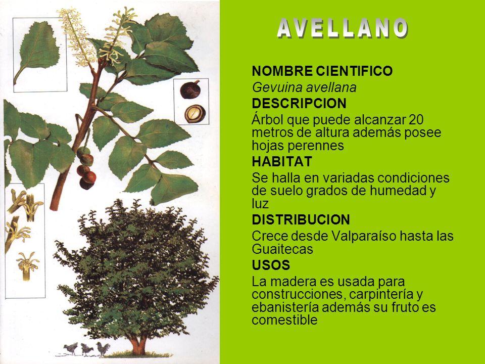 Arboles y arbustos de aysen ppt video online descargar for Arboles con sus nombres y caracteristicas