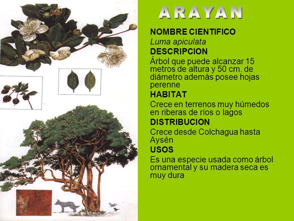 ARAYAN NOMBRE CIENTIFICO Luma apiculata DESCRIPCION