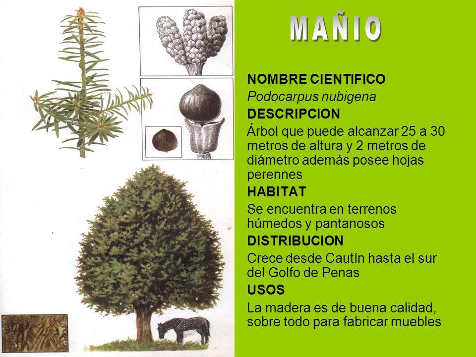 MAÑIO NOMBRE CIENTIFICO Podocarpus nubigena DESCRIPCION