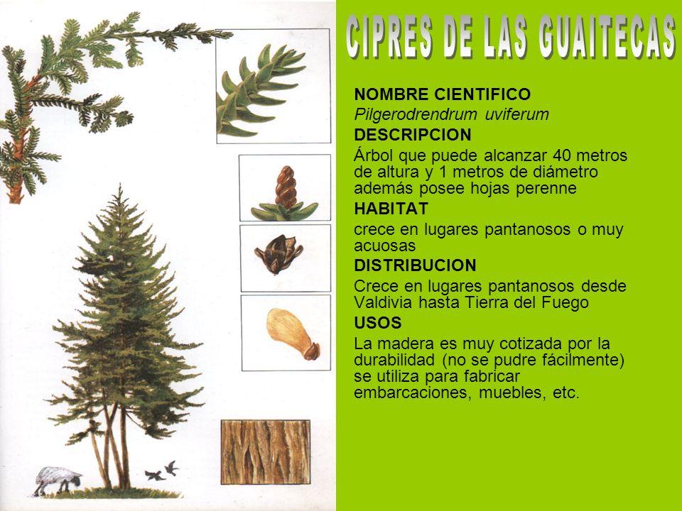 CIPRES DE LAS GUAITECAS