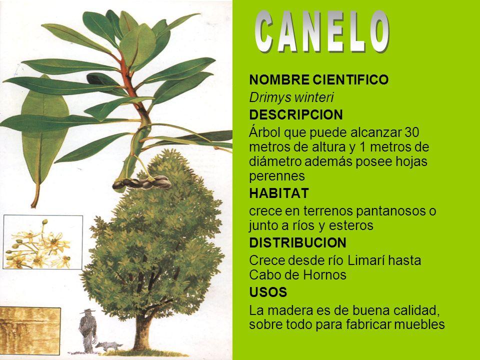 Arboles y arbustos de aysen ppt video online descargar for Arboles de hoja perenne que crece rapido