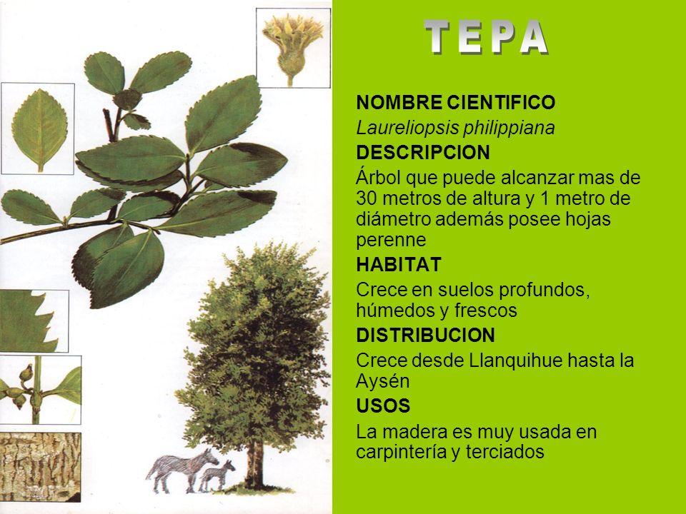TEPA NOMBRE CIENTIFICO Laureliopsis philippiana DESCRIPCION