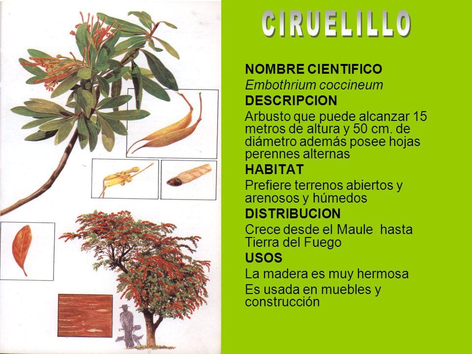 CIRUELILLO NOMBRE CIENTIFICO Embothrium coccineum DESCRIPCION