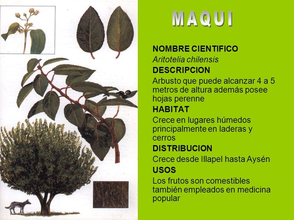 MAQUI NOMBRE CIENTIFICO Aritotelia chilensis DESCRIPCION