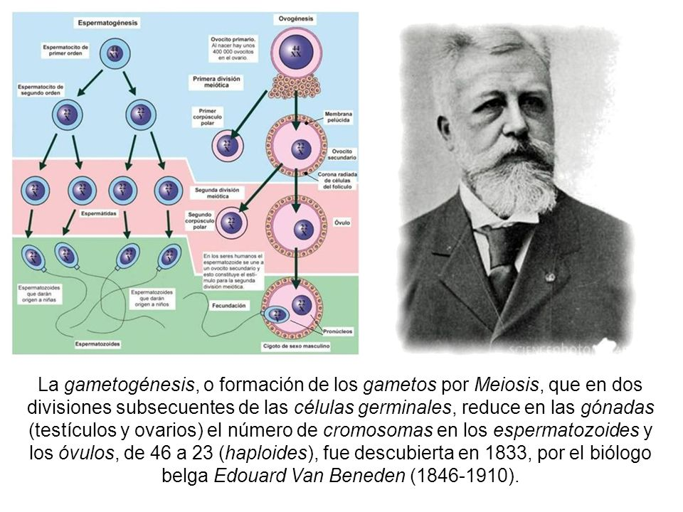 La gametogénesis, o formación de los gametos por Meiosis, que en dos divisiones subsecuentes de las células germinales, reduce en las gónadas (testículos y ovarios) el número de cromosomas en los espermatozoides y los óvulos, de 46 a 23 (haploides), fue descubierta en 1833, por el biólogo belga Edouard Van Beneden (1846-1910).