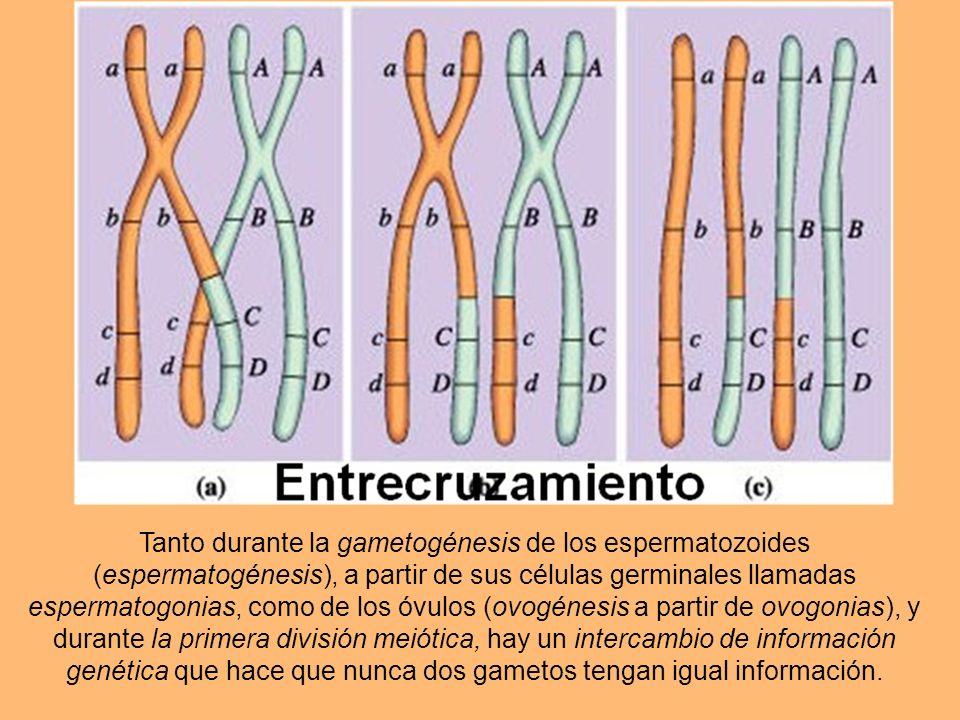 Tanto durante la gametogénesis de los espermatozoides (espermatogénesis), a partir de sus células germinales llamadas espermatogonias, como de los óvulos (ovogénesis a partir de ovogonias), y durante la primera división meiótica, hay un intercambio de información genética que hace que nunca dos gametos tengan igual información.