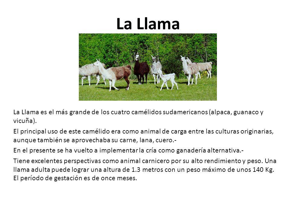 La Llama La Llama es el más grande de los cuatro camélidos sudamericanos (alpaca, guanaco y vicuña).