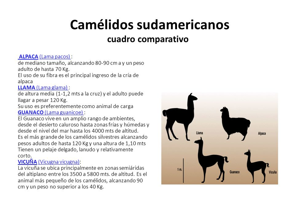 Camélidos sudamericanos cuadro comparativo