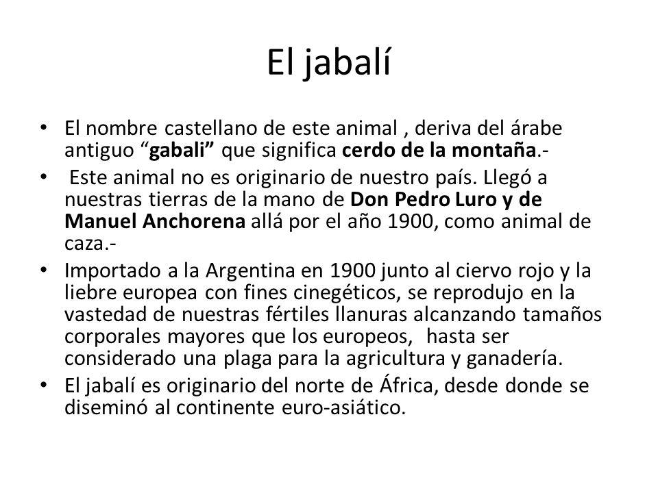 El jabalí El nombre castellano de este animal , deriva del árabe antiguo gabali que significa cerdo de la montaña.-