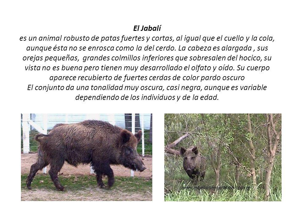El Jabalí es un animal robusto de patas fuertes y cortas, al igual que el cuello y la cola, aunque ésta no se enrosca como la del cerdo.