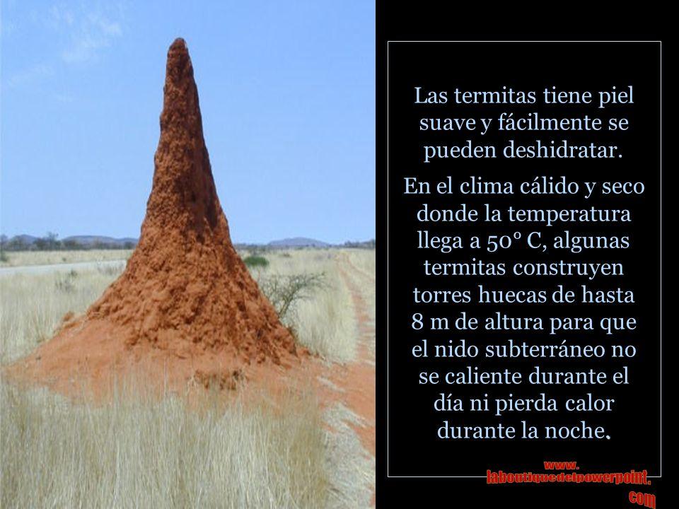 Las termitas tiene piel suave y fácilmente se pueden deshidratar.