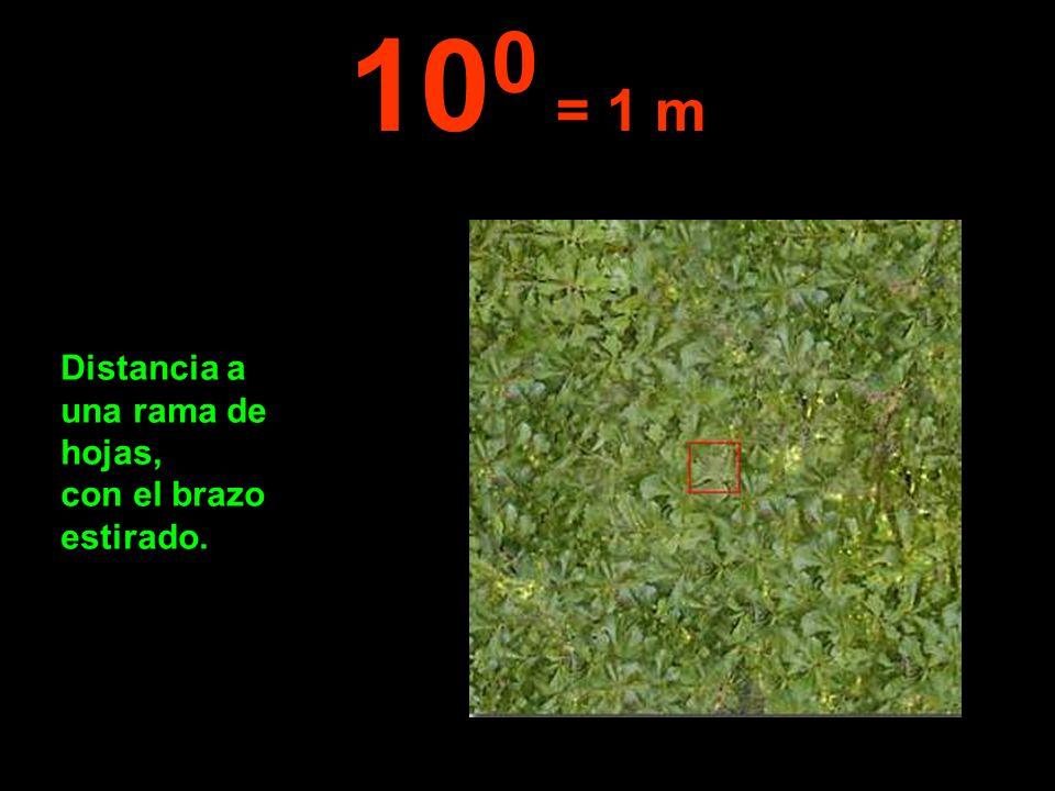 100 = 1 m Distancia a una rama de hojas, con el brazo estirado.