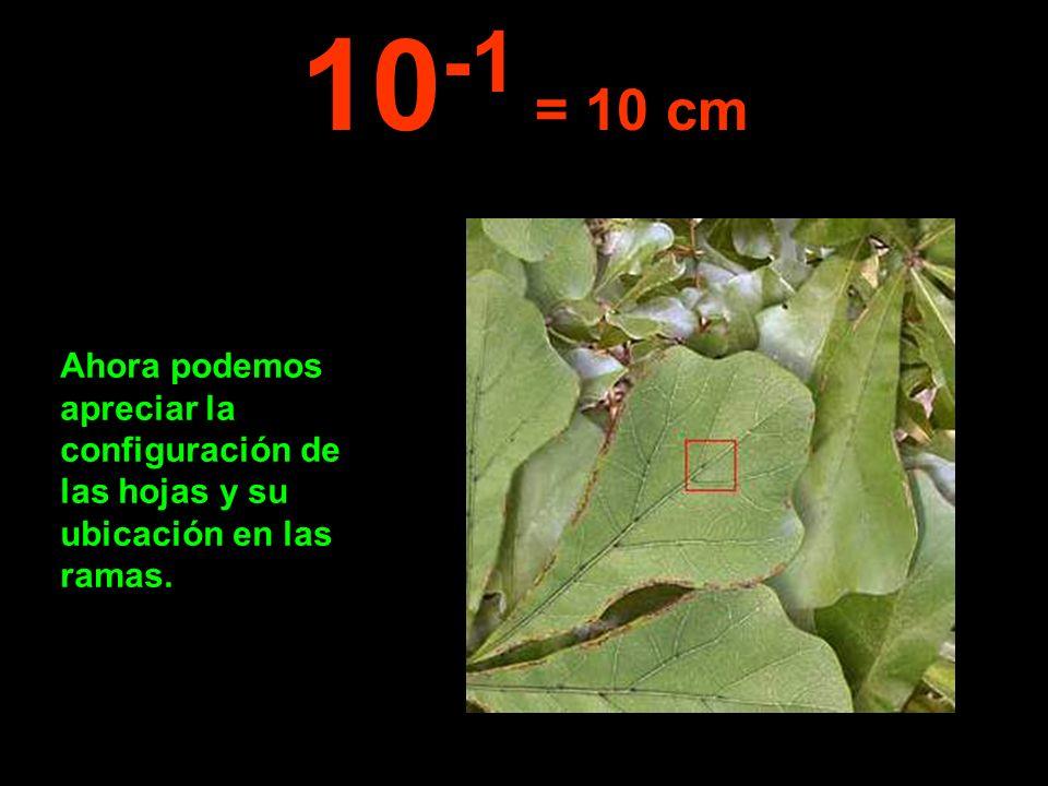 10-1 = 10 cm Ahora podemos apreciar la configuración de las hojas y su ubicación en las ramas.