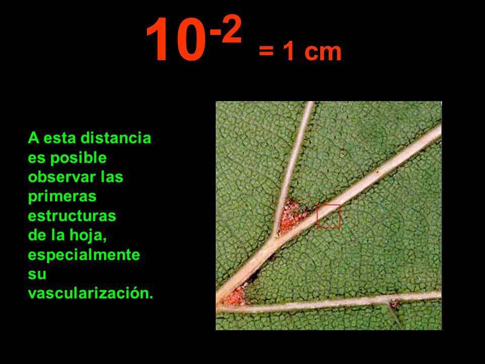 10-2 = 1 cm A esta distancia es posible observar las primeras estructuras de la hoja, especialmente su vascularización.
