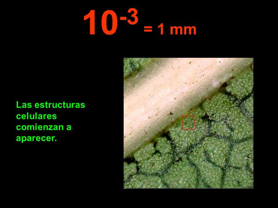 10-3 = 1 mm Las estructuras celulares comienzan a aparecer.