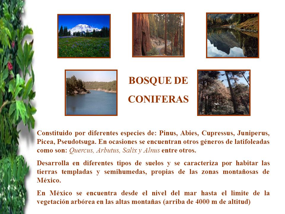 BOSQUE DE CONIFERAS.