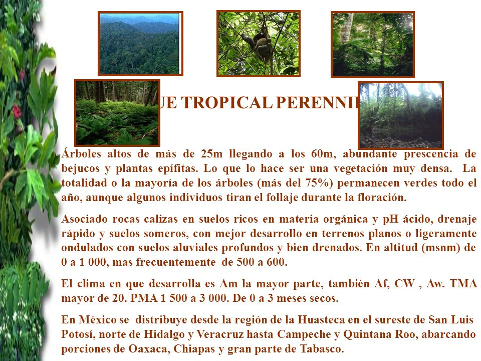 BOSQUE TROPICAL PERENNIFOLIO