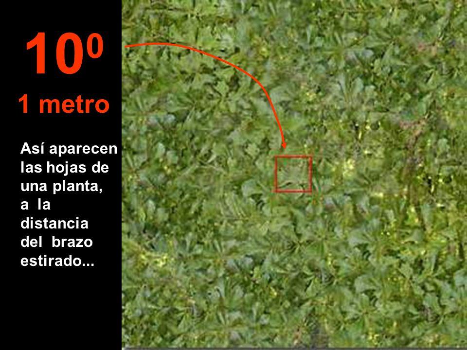 100 1 metro Así aparecen las hojas de una planta, a la distancia del brazo estirado...