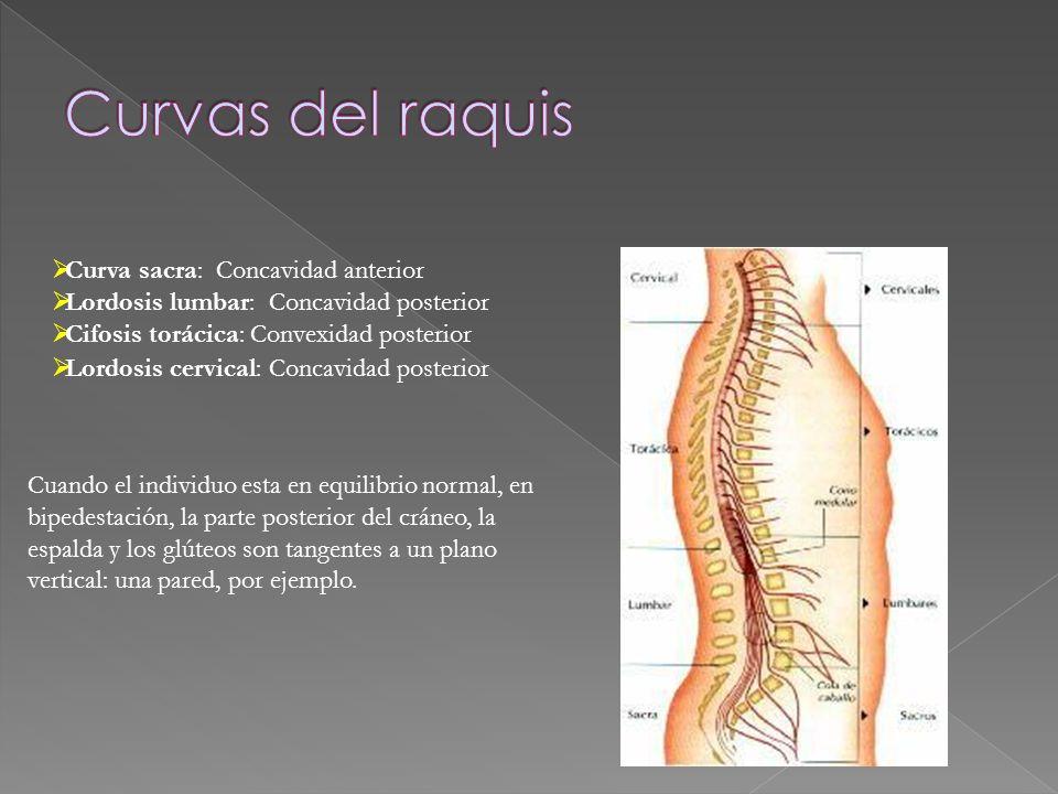 Curvas del raquis Curva sacra: Concavidad anterior