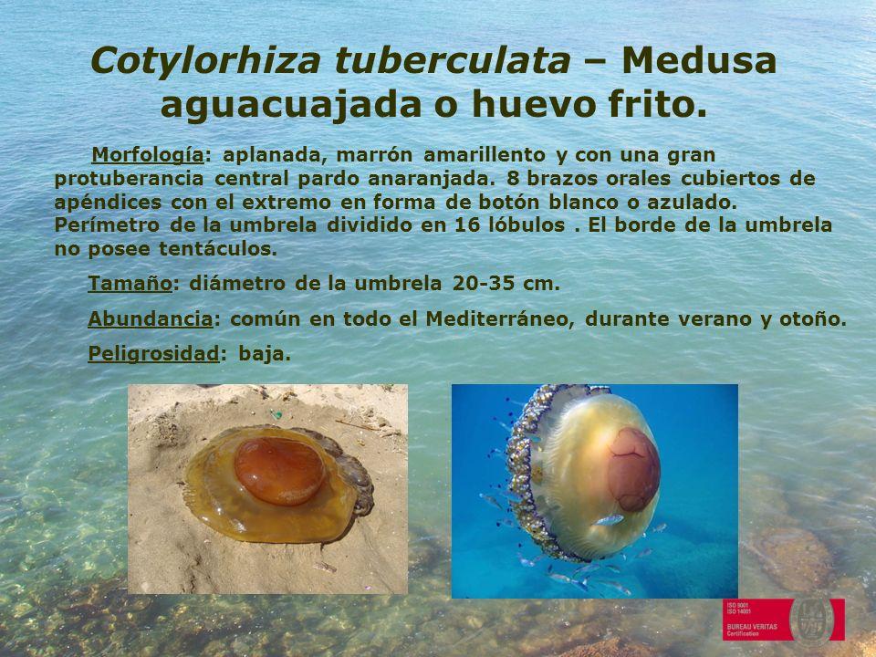 Cotylorhiza tuberculata – Medusa aguacuajada o huevo frito.