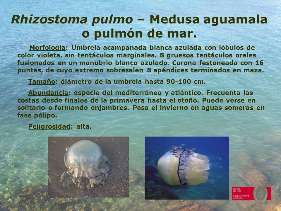 Rhizostoma pulmo – Medusa aguamala o pulmón de mar.