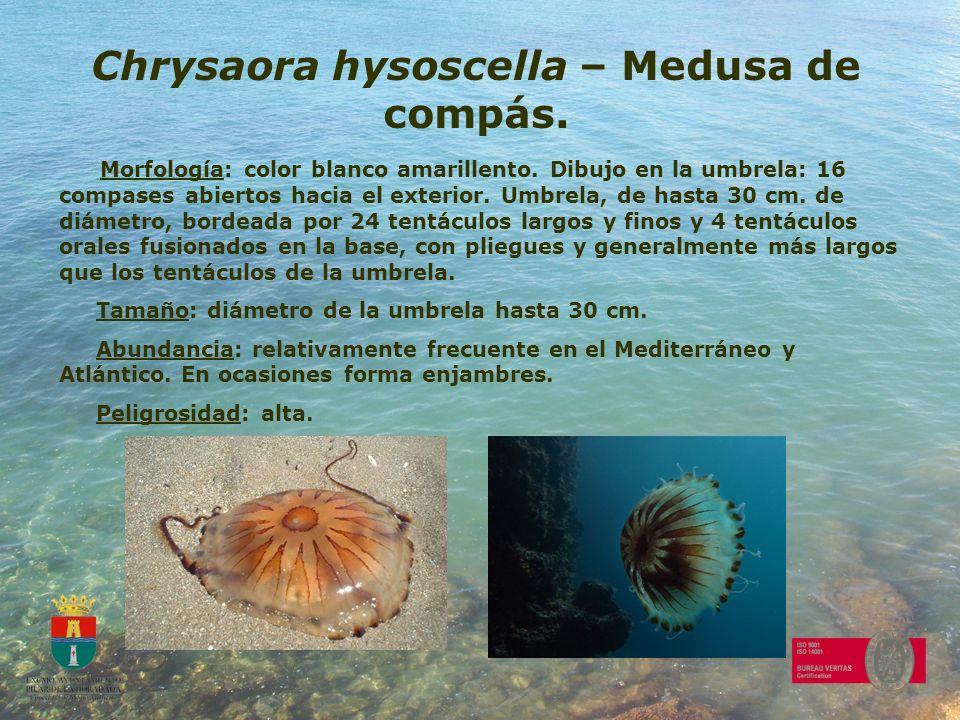 Chrysaora hysoscella – Medusa de compás.