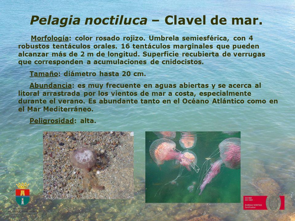 Pelagia noctiluca – Clavel de mar.