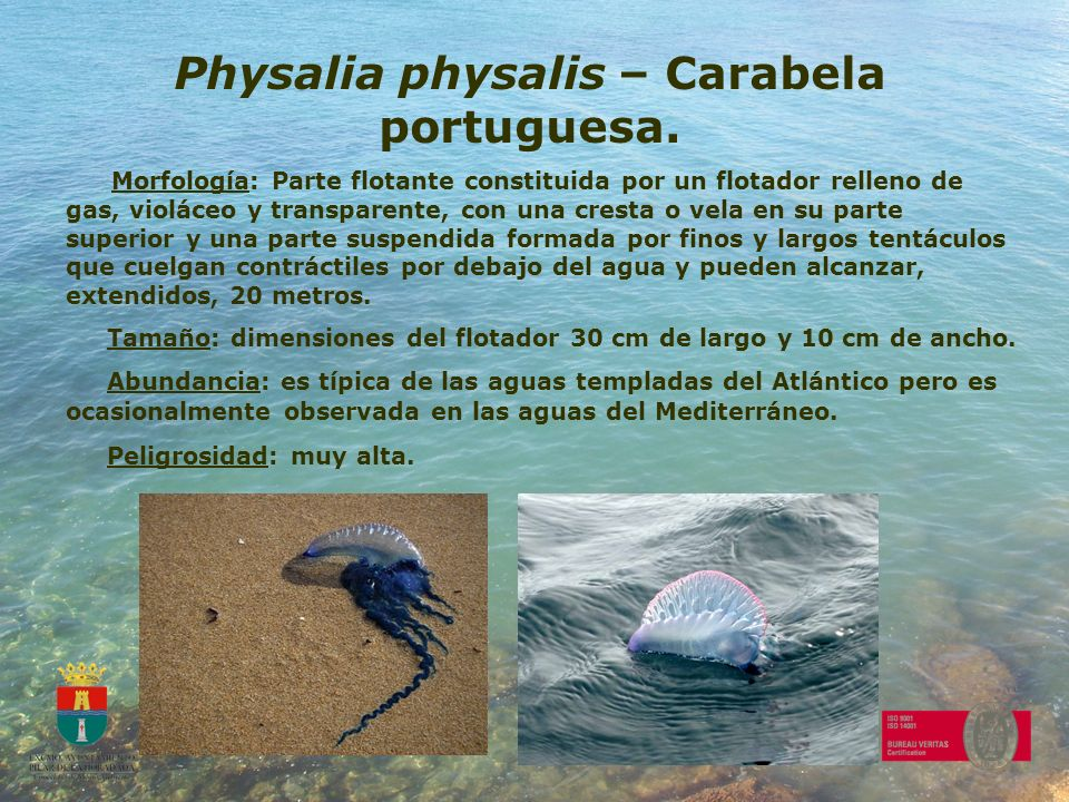 Physalia physalis – Carabela portuguesa.
